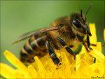 Средство при укусах пчел
