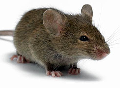 как защитить пенопласт от мышей